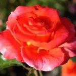 Die Rose strahlt...